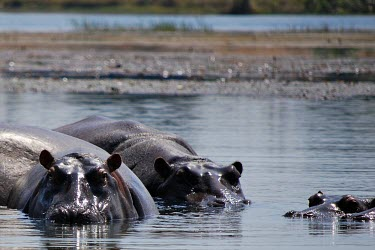 Hippopotamuses in water water,river,group,bathing,Hippopotamidae,Hippopotamuses,Mammalia,Mammals,Even-toed Ungulates,Artiodactyla,Chordates,Chordata,Appendix II,Aquatic,Ponds and lakes,Omnivorous,Hippopotamus,Cetartiodactyla