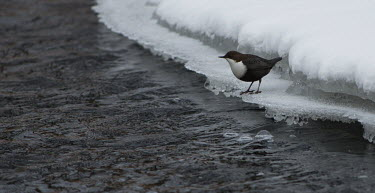 Dipper standing on ice ice,winter,water,snow,feeding,adult,cold,ripple,Common,Animalia,Passeriformes,Species of Conservation Concern,Aquatic,Cinclidae,Carnivorous,Aves,cinclus,Europe,Africa,Asia,Chordata,Streams and rivers,