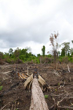 An area of land that has been burned and cut deforestation,degraded forests,wood,trees,cut,forests,damaged,destroyed,land clearing,fire,burnt,burned,tropical forest,negative space,central,Central Kalimantan,Cutting,Deforestation,Degraded Forests