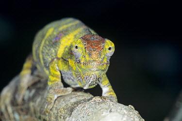 Chameleon climbing along a branch chameleon,Animalia,Chordata,Reptilia,Squamata,Chamaeleonidae,portrait,colourful,looking at camera,negative space,climbing,branch,Analamazaotra Special Reserve,Andasibe-Mantadia National Park,Africa,CA