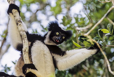 Indri Analamazaotra Special Reserve,Andasibe-Mantadia National Park,environmental issues,conservation,portrait,adult,green eyes,in tree,leaves,Indridae,Mammalia,Mammals,Chordates,Chordata,Primates,Rainfores