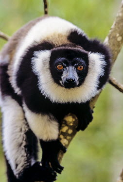 Black-and-white ruffed lemur Analamazaotra Special Reserve,Andasibe-Mantadia National Park,environmental issues,adult,portrait,looking at camera,shallow focus,Lemuridae,Chordates,Chordata,Primates,Mammalia,Mammals,Africa,Herbivor