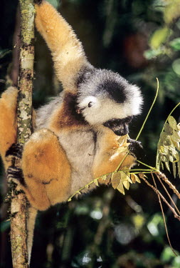 Diademed sifaka eating a leaf adult,feeding,in tree,leaves,herbivore,Primates,Indridae,Mammalia,Mammals,Chordates,Chordata,Animalia,Herbivorous,Indriidae,Arboreal,Propithecus,Critically Endangered,diadema,Rainforest,Africa,Appendi