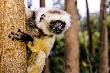 Diademed sifaka clinging onto a tree adult,in tree,portrait,negative space,stiking,Primates,Indridae,Mammalia,Mammals,Chordates,Chordata,Animalia,Herbivorous,Indriidae,Arboreal,Propithecus,Critically Endangered,diadema,Rainforest,Africa,
