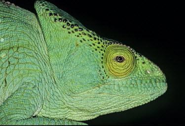 Parsons chameleon portrait portrait,adult,bright green,colourful,striking,negative space,Temperate,Tropical,Arboreal,Animalia,Squamata,Chamaeleonidae,Appendix II,Calumma,Mountains,Africa,Chordata,Carnivorous,Reptilia,IUCN Red L