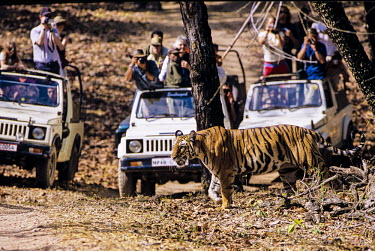 Tourists photographing a tiger tourism,forest,mountain,walking,photography,eco-tourism,guide,jeeps,wildlife,people,watching,safari,tourists,adult,Carnivores,Carnivora,Mammalia,Mammals,Chordates,Chordata,Felidae,Cats,Panthera,Tropic
