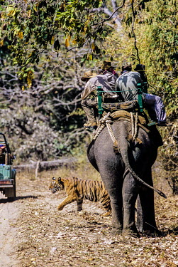 Tourists watching a tiger from an elephant's back tourism,forest,mountain,walking,photography,eco-tourism,guide,wildlife,people,watching,safari,tourists,adult,elephant,Carnivores,Carnivora,Mammalia,Mammals,Chordates,Chordata,Felidae,Cats,Panthera,Tro
