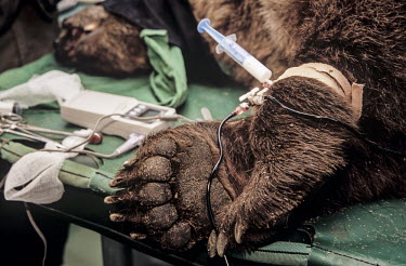 Brown bear undergoing veterinary treatment at a dancing bear sanctuary Conservation,veterinary intervention,protection,environmental issues,recovery centre,dancing bears,syringe,tubes,treatment,vets,table,Carnivores,Carnivora,Bears,Ursidae,Chordates,Chordata,Mammalia,Mam