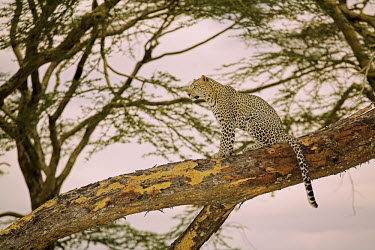 Leopard on a branch Adult,tree,high up,diagonal,spots,bark,negative space,Chordates,Chordata,Felidae,Cats,Mammalia,Mammals,Carnivores,Carnivora,Temperate,Savannah,Asia,Appendix I,Carnivorous,Panthera,Near Threatened,Afri