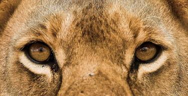 Lion eyes close-up Adult,eyes,close-up,striking,reflections,Felidae,Cats,Mammalia,Mammals,Carnivores,Carnivora,Chordates,Chordata,leo,Animalia,Savannah,Africa,Scrub,Appendix II,Asia,Panthera,Vulnerable,Desert,Terrestria