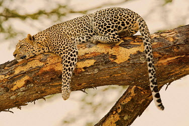 Leopard on a branch Adult,tree,high up,spots,bark,long tail,resting,detail,patterns,Chordates,Chordata,Felidae,Cats,Mammalia,Mammals,Carnivores,Carnivora,Temperate,Savannah,Asia,Appendix I,Carnivorous,Panthera,Near Threa