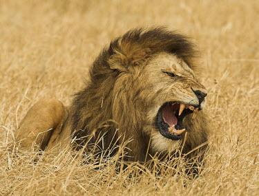 Lion snarling Adult,sitting,dry,grass,snarling,showing teeth,male,mane,negative space,Felidae,Cats,Mammalia,Mammals,Carnivores,Carnivora,Chordates,Chordata,leo,Animalia,Savannah,Africa,Scrub,Appendix II,Asia,Panthe