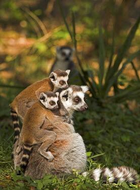 Ring-tailed lemurs adult,young,climbing,clinging,parent,Chordates,Chordata,Lemuridae,Mammalia,Mammals,Primates,Animalia,Appendix I,Near Threatened,Arboreal,Africa,Rock,Lemur,Terrestrial,Herbivorous,Temperate,Scrub,catta