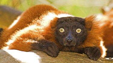 Red ruffed lemur Adult,hunched,close-up,looking at camera,eyes,Primates,Chordates,Chordata,Mammalia,Mammals,Lemuridae,Varecia,Arboreal,rubra,Endangered,Forest,Herbivorous,Appendix I,Africa,Animalia,Terrestrial,IUCN Re