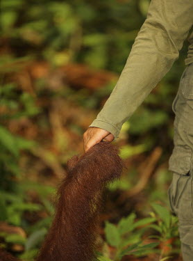 Holding hands with a Bornean orangutan recovery,reintroduction,centre,wildlife centre,conservation,Sabangau National Park,environmental issues,WWF Indonesia,human,contact,holding hands,Mammalia,Mammals,Chordates,Chordata,Primates,Hominids,