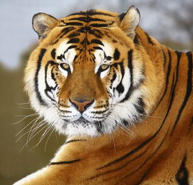 Tiger conservation,portrait,adult,close up,looking at camera,Centro REcupero Animali Selvatici Esotici (CRASE),WWF Italy,CITES,Carnivores,Carnivora,Mammalia,Mammals,Chordates,Chordata,Felidae,Cats,Panthera,