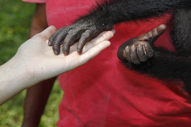 Bonobo touching hands Bonobo recovery centre,conservation,people,infant,young,friends,hands,touch,Primates,Chordates,Chordata,Hominids,Hominidae,Mammalia,Mammals,Terrestrial,Temperate,Appendix I,Pan,paniscus,Africa,Endange