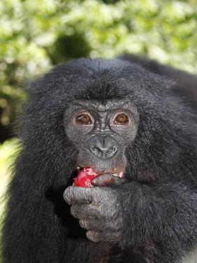 Bonobo eating fruit adult,eating,close-up,face,red fruit,Primates,Chordates,Chordata,Hominids,Hominidae,Mammalia,Mammals,Terrestrial,Temperate,Appendix I,Pan,paniscus,Africa,Endangered,Animalia,IUCN Red List,Africa; Repu