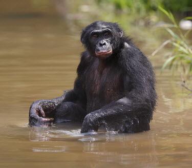 Bonobo sat in water adult,water,sitting,shallow focus,portrait,Primates,Chordates,Chordata,Hominids,Hominidae,Mammalia,Mammals,Terrestrial,Temperate,Appendix I,Pan,paniscus,Africa,Endangered,Animalia,IUCN Red List,Africa