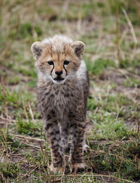 Young cheetah young,camouflage,looking at camera,grass,fluffy,Chordates,Chordata,Carnivores,Carnivora,Mammalia,Mammals,Felidae,Cats,jubatus,Savannah,Appendix I,Africa,Acinonyx,Critically Endangered,Carnivorous,Terr