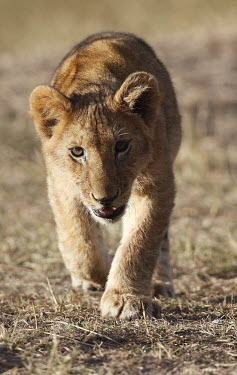 Lion cub walking towards camera young,camouflage,looking at camera,grass,fluffy,walking,Felidae,Cats,Mammalia,Mammals,Carnivores,Carnivora,Chordates,Chordata,leo,Animalia,Savannah,Africa,Scrub,Appendix II,Asia,Panthera,Vulnerable,De