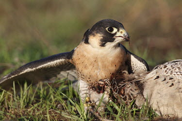 Peregrine falcon with prey adult,predator,prey,ground,feathers,grass,feeding,tearing,eating,close-up,eye,Aves,Birds,Chordates,Chordata,Ciconiiformes,Herons Ibises Storks and Vultures,Falcons, Caracaras,Falconidae,North America,