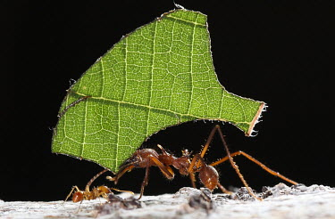 Ant carrying a piece of leaf Atta sp.,Formica tagliafoglie,atta,attine,invertebrate,ant,insect,Parco Nazionale della Gran Sabana,leaf,segment,carrying,large,small,green leaf,black background,America del Sud, Venezuela,Etologia, a