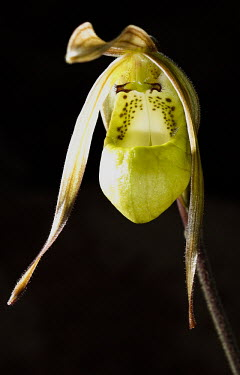 Orchid flower Parco Nazionale della Gran Sabana,orchid,herbaceous plants,flower,black background,shallow focus,Orchidales,Plantae,Terrestrial,Orchidaceae,Tracheophyta,etheliae,Liliopsida,Vulnerable,Bartholina,Photo