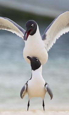 Andean gulls Adults,mating,two,on top,totem pole,shallow focus,behaviour,balance,America del Sud,Etologia,Gabbiano delle Ande (Larus serranus),Invertebrati,Parco Nazionale Los Roques,Patrimonio Unesco,Uccelli,Vene