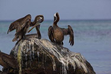 Brown pelicans on rock adults,rock,guano,preening,sea,marine,shallow focus,Ciconiiformes,Herons Ibises Storks and Vultures,Aves,Birds,Chordates,Chordata,Pelecanidae,Pelicans,Pelecanus,North America,Pelecaniformes,Terrestria