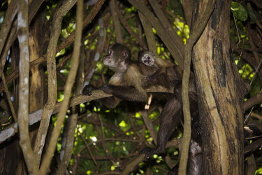 Weeper capuchins cuddle,cute,looking at camera,camouflage,trees,branch,hidden,adult,young,Chordates,Chordata,Mammalia,Mammals,Primates,Cebidae,Marmosets, Tamarins, Capuchin Monkeys And Squirrel Monkeys,Cebus,Terrestri