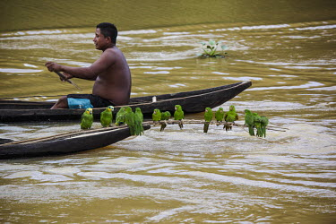 Southern Mealy Amazons and orange winged Amazons caught from the wild orange winged Amazon,Amazona amazonica,southern mealy Amazon,Amazona farinosa,caught wild,illegal trade,culture,traditions,Warao Indians,parrots,Psittaciformi,environmental issues,water,river,boat,peo