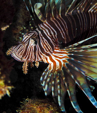 Common lionfish fish,marine,predator,stripes,Actinopterygii,Ray-finned Fishes,Chordates,Chordata,Coral reef,Aquatic,Carnivorous,Scorpaenidae,Ocean,Animalia,Pterois,Marine,Indian,Scorpaeniformes,Ambienti, Mare e coste