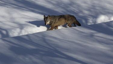 Apennine wolf in snow adult,walking,snow,path,diagonal,shadows,Europa, Italia,Lupo appenninico (Canis lupus italicus),Neve,Vertebrati, Mammiferi