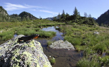 Alpine newt in habitat WWF Italy,Valtrigona,Animalia,Chordata,Amphibia,Caudata,Salamandridae,habitat,mountains,wetland,ponds,trees,shallow focus,negative space,Alpi,Anfibi,Dolomiti,Europa,Italia,Oasi WWF Valtrigona (TN),Tri