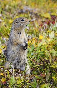 Arctic ground squirrel adult,grass,colourful,portrait,autumn,alert,vigilant,shallow focus,Rodents,Rodentia,Chordates,Chordata,Squirrels, Chipmunks, Marmots, Prairie Dogs,Sciuridae,Mammalia,Mammals,Terrestrial,Spermophilus,O