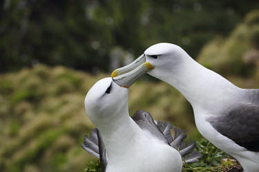 White-capped albatrosses plumage,preening,courtship,mating,colony,nesting,IUCN Red List Near threatened,pair,shallow focus,Aves,Birds,Chordates,Chordata,Carnivorous,Diomedeidae,Ocean,Near Threatened,steadi,Australia,Thalassar