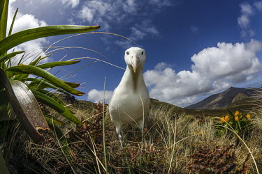 Southern royal albatross adult,inquisitive,habitat,mountains,landscape,sky,clouds,looking at camera,Chordates,Chordata,Aves,Birds,Diomedea,Grassland,Animalia,Vulnerable,Diomedeidae,South America,Antarctic,Carnivorous,epomopho