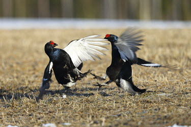 Black grouse fighting adults,fighting,display,reproduction,shallow focus,fight,Chordates,Chordata,Aves,Birds,Omnivorous,IUCN Red List,Europe,Scrub,Tetrao,Flying,Galliformes,Agricultural,tetrix,Broadleaved,Animalia,Phasiani