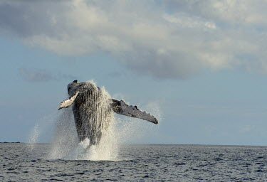 A female humpback whale jumps free from the sea off the coast of Madagascer marine,wildlife,whales,jumping,breach,splash,majestic,adult,female,mighty,large,flippers,display,cetaceans,Rorquals,Balaenopteridae,Cetacea,Whales, Dolphins, and Porpoises,Chordates,Chordata,Mammalia,