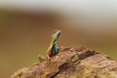 Fan-throated lizard on rock lizard,fan,colourful,throat,reptile,wild,wildlife,asia,Animalia,Chordata,Reptilia,Squamata,Agamidae,shallow focus,negative space,rock,Wild,fan throated lizard,throated,Sitana ponticeriana,Sitana,India