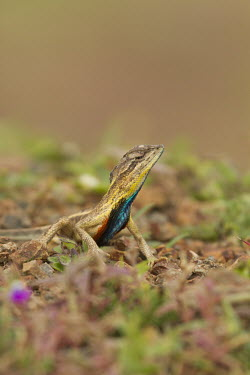 Fan-throated lizard on ground lizard,fan,colourful,throat,reptile,wild,wildlife,asia,Animalia,Chordata,Reptilia,Squamata,Agamidae,shallow focus,negative space,Wild,fan throated lizard,throated,Sitana ponticeriana,Sitana,India,rept