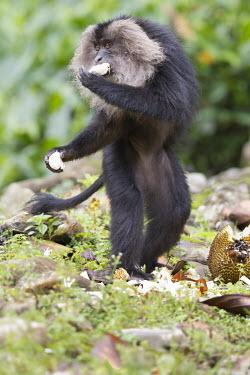 Lion-tailed macaque standing on hind legs eating fruit eating,feeding,fruit,eat,food,monkey,threatened,endangered,standing,hind legs,Wild,primate,macaque,Chordates,Chordata,Primates,Old World Monkeys,Cercopithecidae,Mammalia,Mammals,Animalia,Macaca,Arbore