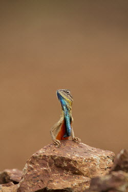 Fan-throated lizard on rock lizard,fan,colourful,throat,reptile,wild,wildlife,asia,Animalia,Chordata,Reptilia,Squamata,Agamidae,shallow focus,negative space,Wild,fan throated lizard,throated,Sitana ponticeriana,Sitana,India,rept
