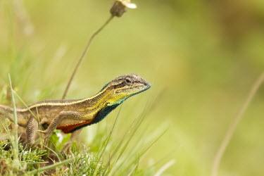 Fan-throated lizard on ground lizard,fan,colourful,throat,reptile,wild,wildlife,asia,Animalia,Chordata,Reptilia,Squamata,Agamidae,shallow focus,negative space,grass,angle,Wild,green,fan throated lizard,throated,Sitana ponticeriana