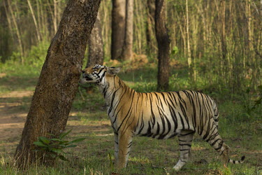 Bengal tiger scent marking royal bengal tiger,tiger,bengal tiger,wild,endangered,scent marking,sniffing,territory,forest,Wild,behaviour,cats,big cats,felidae,felid,Mammalia,Mammals,Carnivores,Carnivora,Felidae,Cats,Chordates,Ch