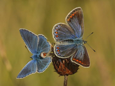 Couple of Polyommatus icarus - after mating macro,butterflies,polyommatus icarus,blue,arthropoda,arthropods,insects,insecta,Lepidoptera,Lycaenidae,butterfly,mating mate,reproduction,pair,male and female,colour,colourful,Arthropoda,Arthropods,In