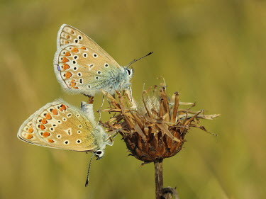 Couple of Polyommatus icarus mating macro,butterflies,polyommatus icarus,blue,arthropoda,arthropods,insects,insecta,Lepidoptera,Lycaenidae,butterfly,mating mate,reproduction,pair,male and female,colour,colourful,Arthropoda,Arthropods,In