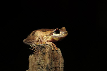 Bleating tree frog Keferstein's tree frog,frog,frogs,anura,amphibians,amphibian,cute,red eyes,weird,interesting,close-up