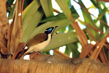 Blue-faced honeyeater perched in tree Bananabird,bird,birds,aves,colourful,perching,tropical bird,tropical